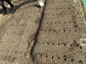 この穴の中に麦の種を入れます